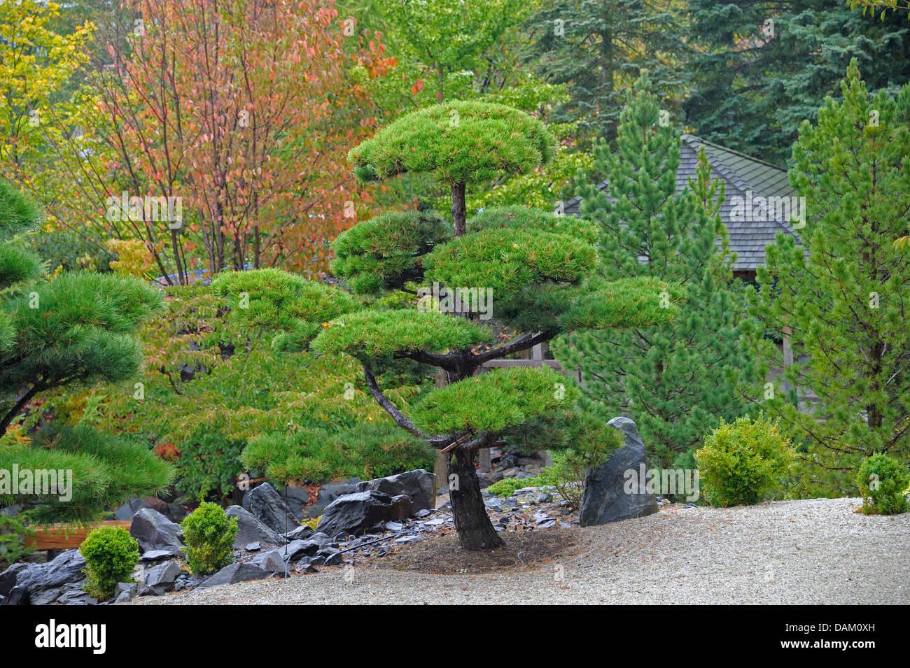black pine, lodgepole pine, shore pine (Pinus contorta), topiary - Stock Image