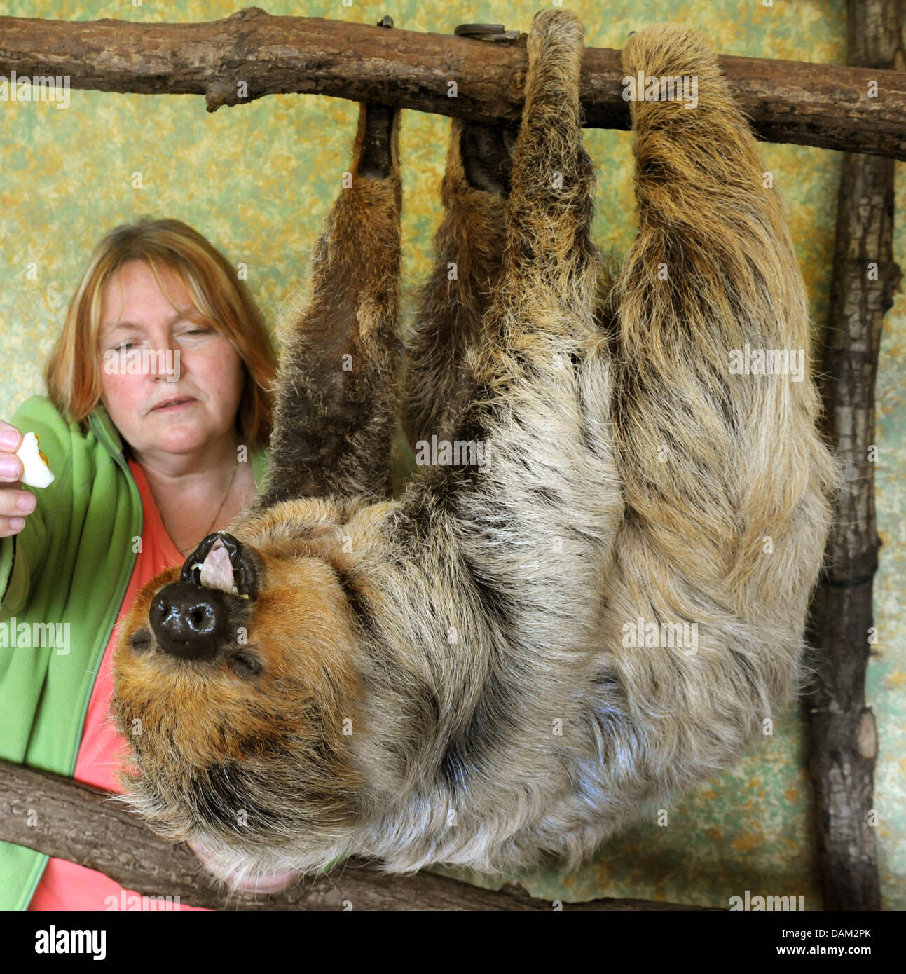 Slosh Paula is pictured during feeding with biologist Jutty Hoyer at the zoo in Halle/Saale, Germany, 17 May 2011. - Stock Image