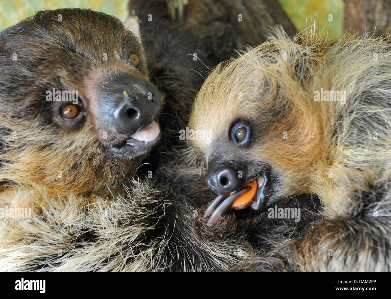 Baby slosh Camillo, eight months old, is pictured with mother Charlotte at the zoo in Halle/Saale, Germany, 17 May - Stock Image