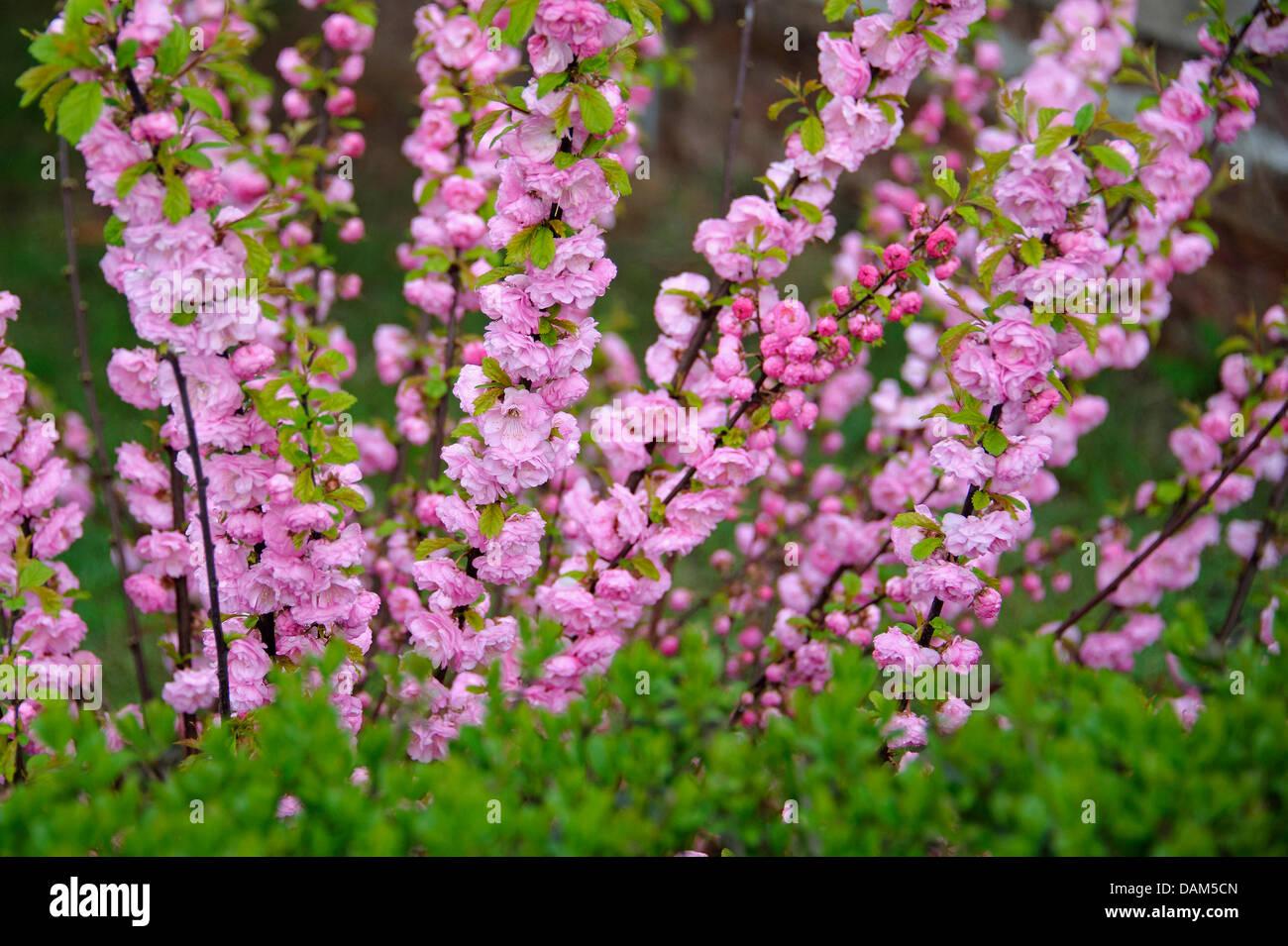 Prunus triloba (Prunus triloba 'Multiplex', Prunus triloba Multiplex), cultivar Multiplex, Germany, Saxony - Stock Image