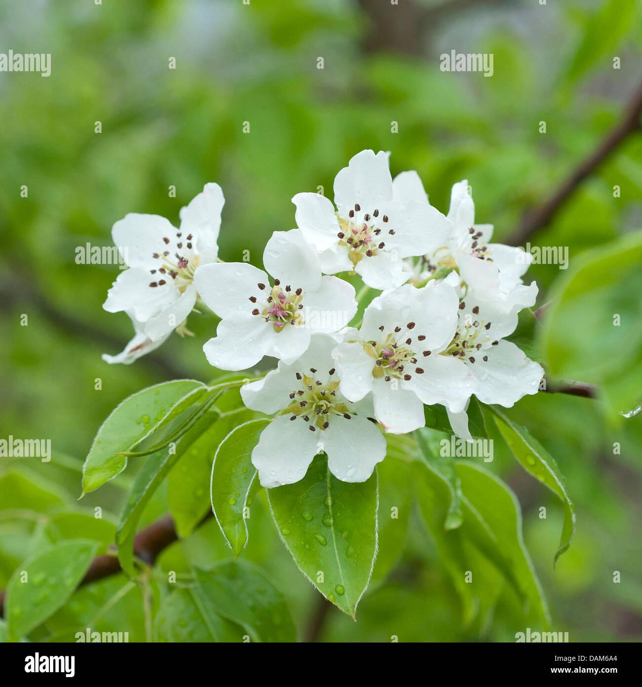 Regel pear (Pyrus regelii), blooming branch, Germany, Saxony - Stock Image