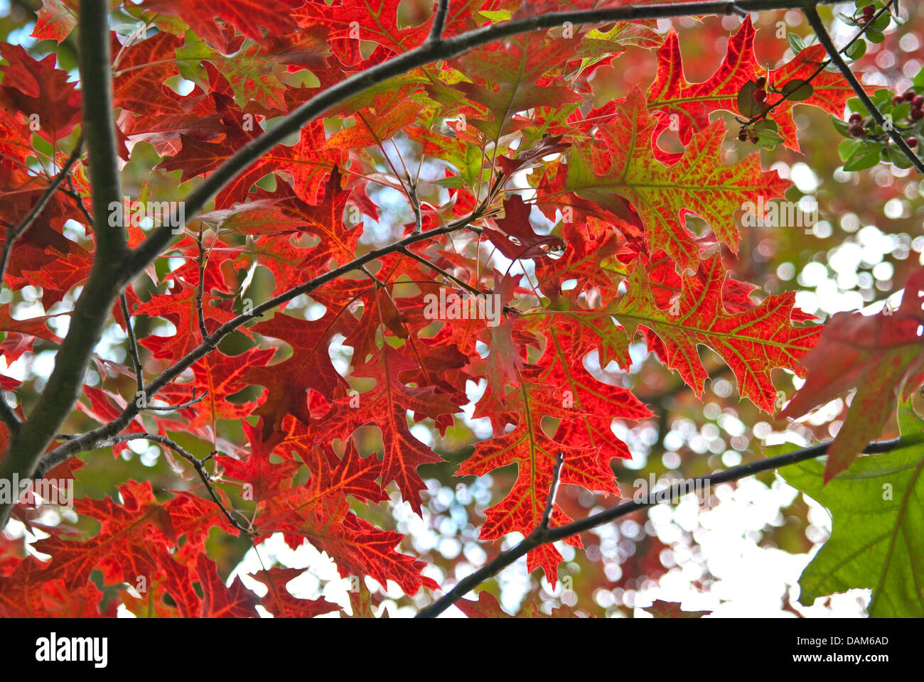 scarlet oak (Quercus coccinea), laves in autumn, Germany - Stock Image