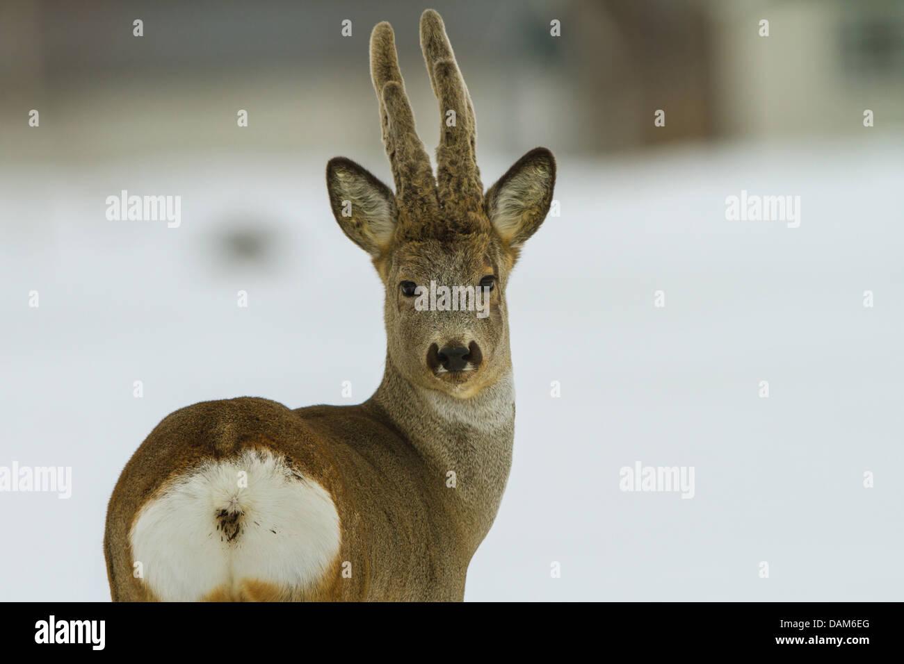 roe deer (Capreolus capreolus), roebuck with velvet looking back, Sweden, Hamra National Park - Stock Image