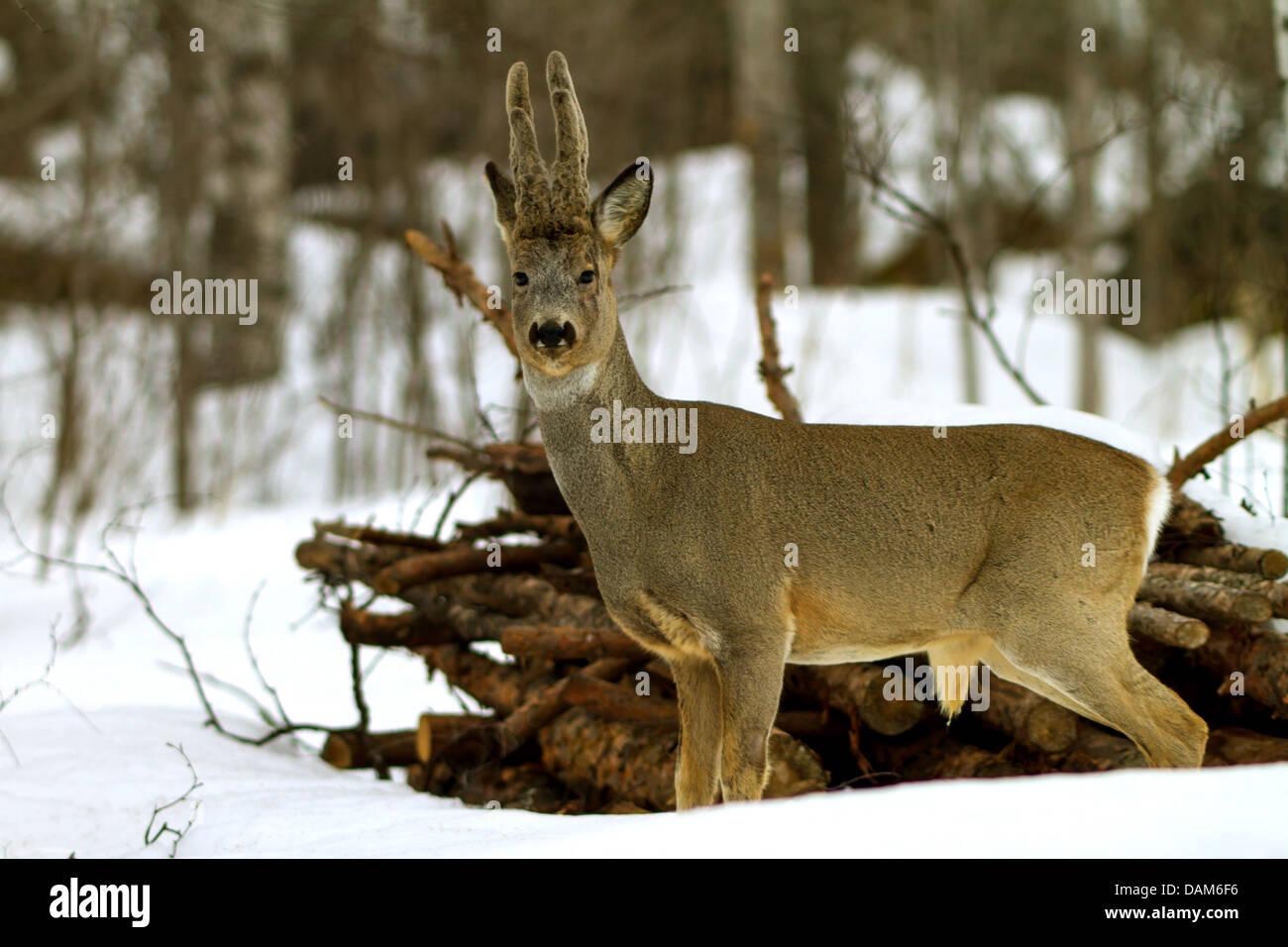 roe deer (Capreolus capreolus), roebuck with velvet, Sweden, Hamra National Park - Stock Image