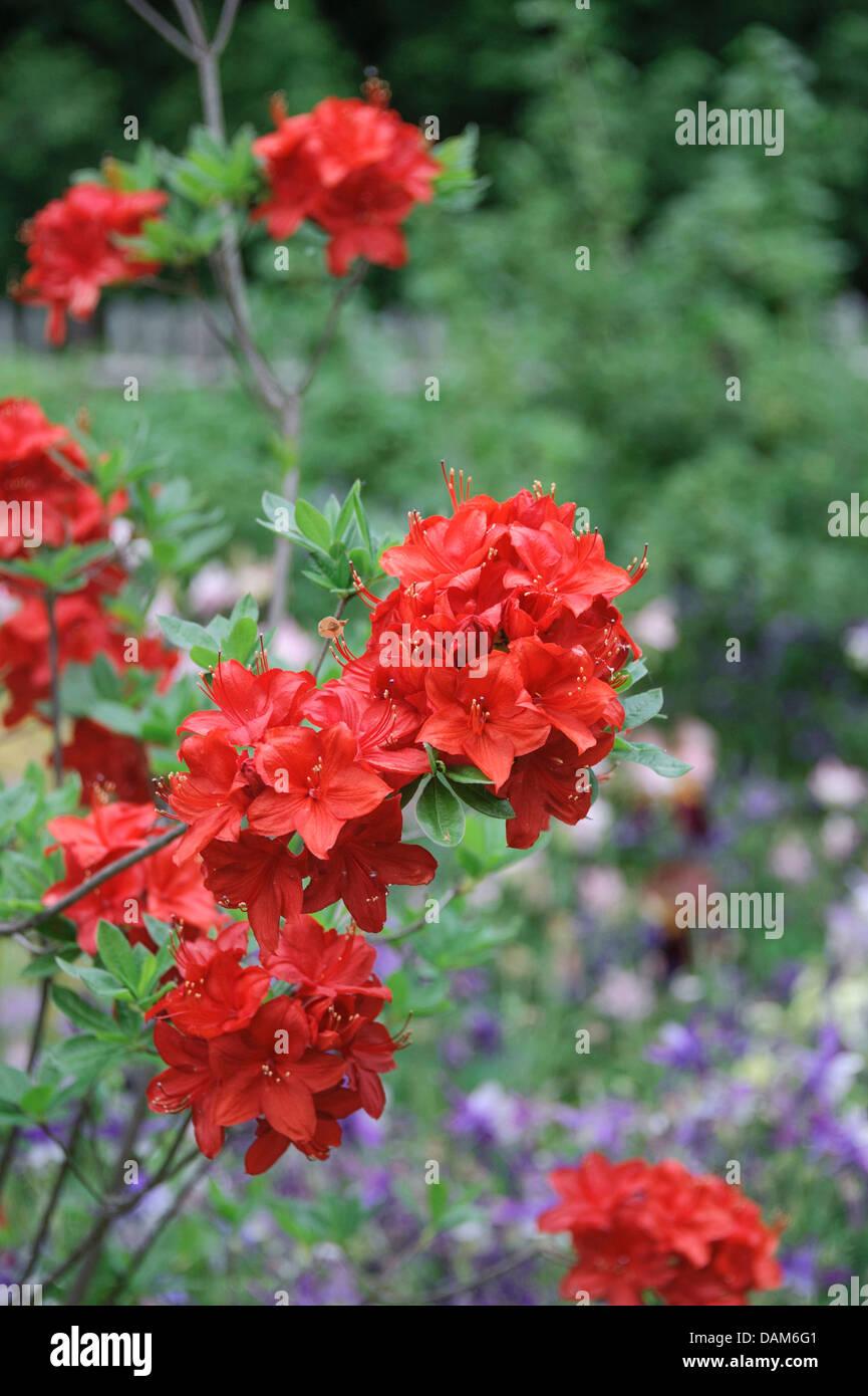 Mollis Azalea (Rhododendron 'Parkfeuer'), cultivar Parkfeuer, blooming branch - Stock Image