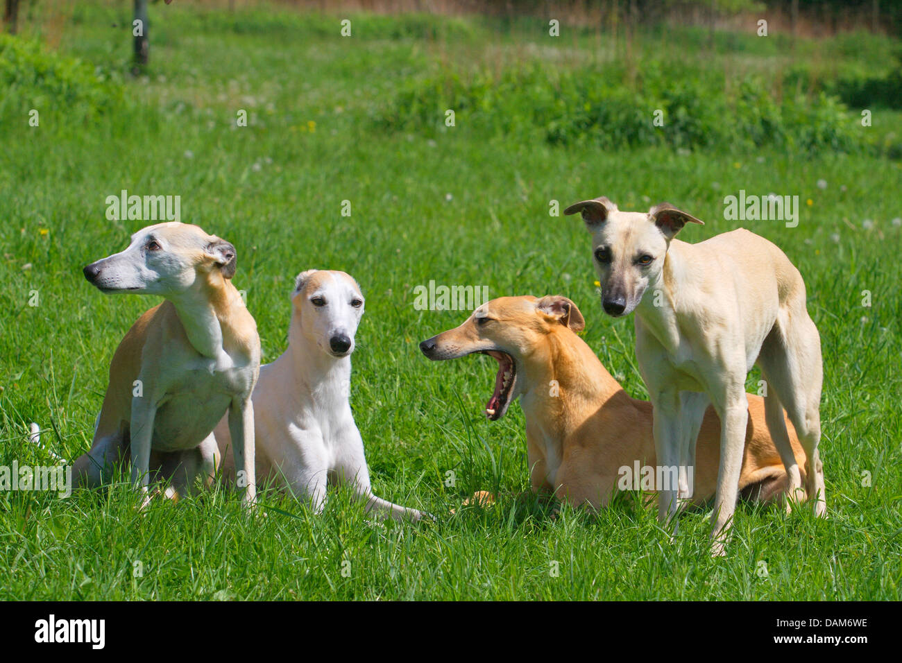 Whippet (Canis lupus f. familiaris), four Whippets in a meadow, Germany - Stock Image