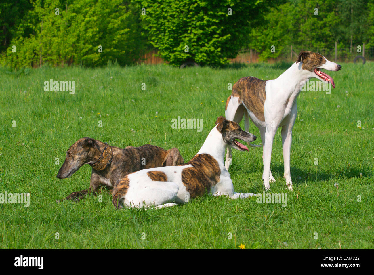 Spanish Greyhound (Canis lupus f. familiaris), three Greyhounds of different age, fur structure and colouration Stock Photo
