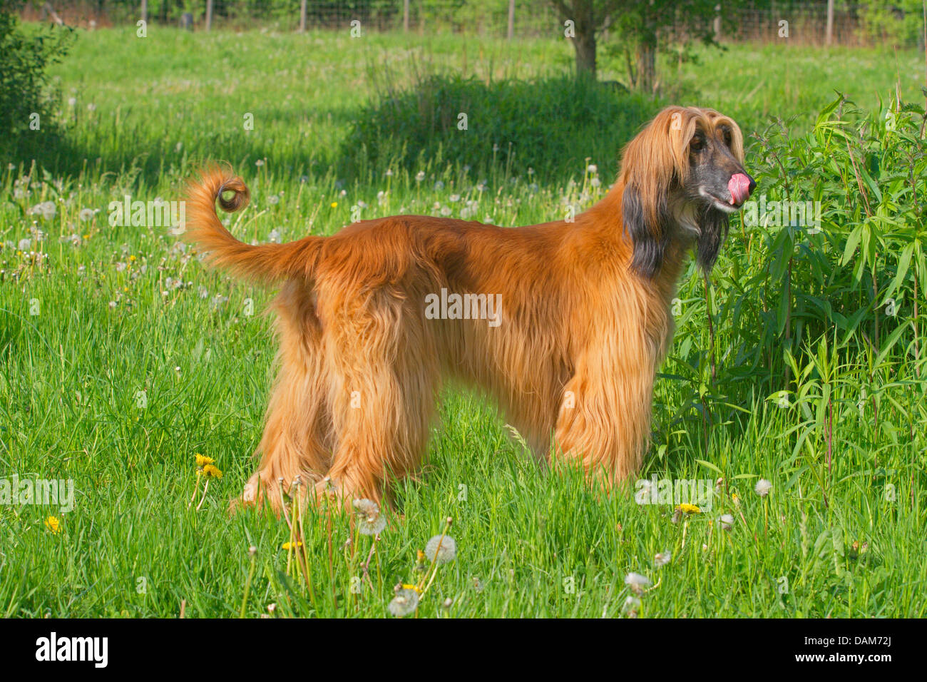 Afghanistan Hound, Afghan Hound (Canis lupus f. familiaris), standing in a meadow licking the mouth waiting for Stock Photo