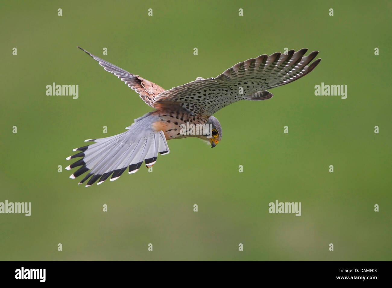 common kestrel (Falco tinnunculus), hovering in the air for capturing prey, Belgium - Stock Image