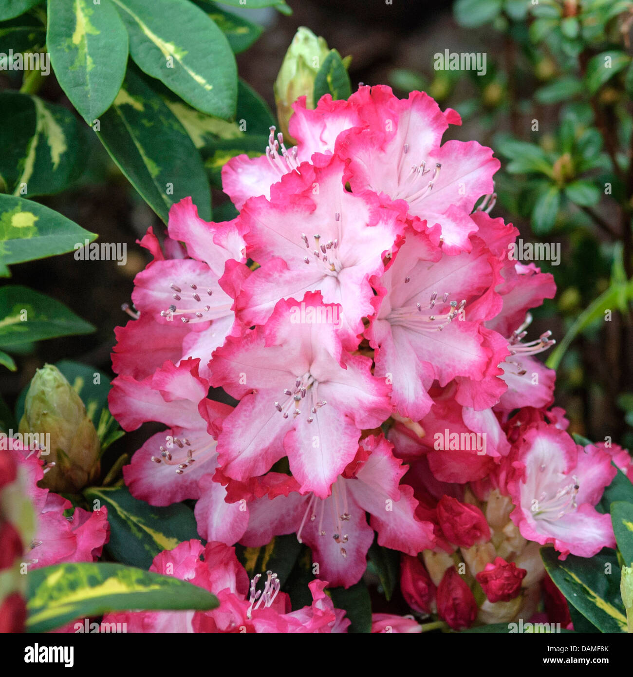 rhododendron (Rhododendron 'President Roosevelt', Rhododendron President Roosevelt), cultivar President - Stock Image