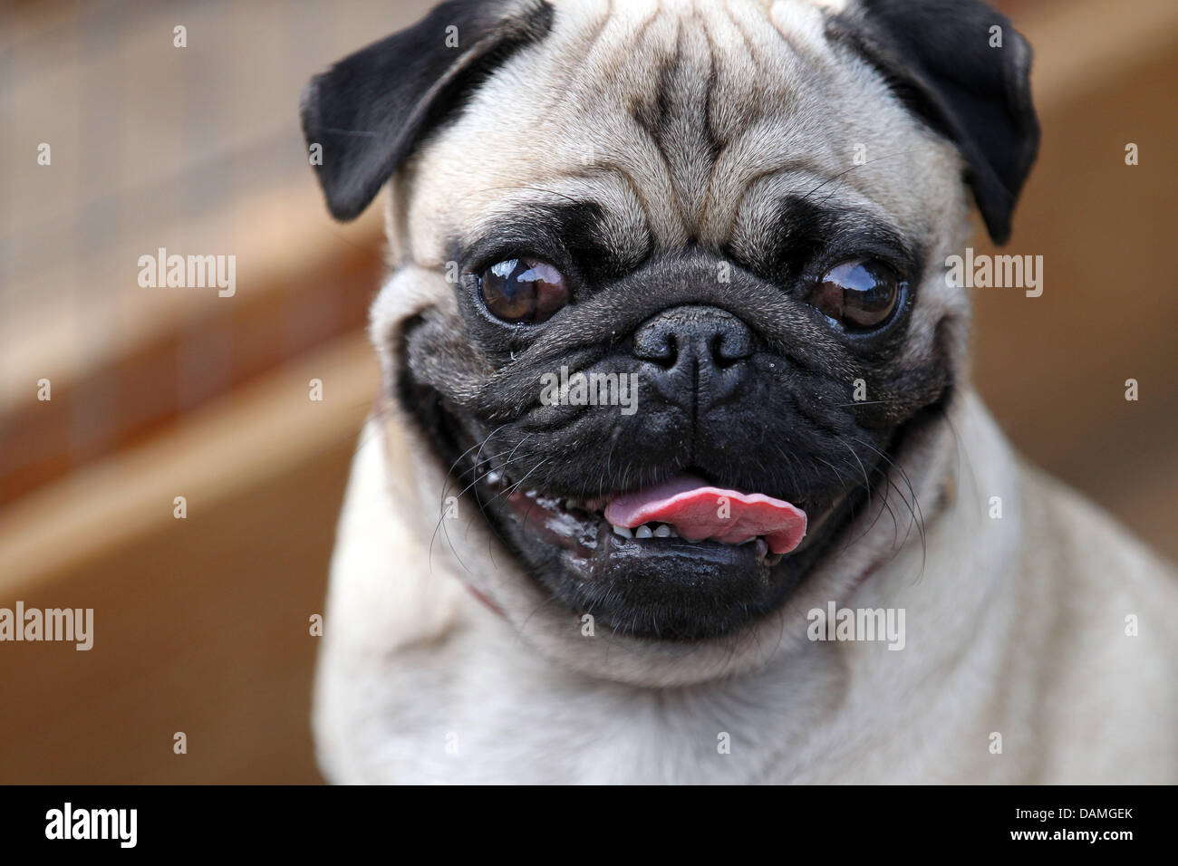Pug Chat Rooms