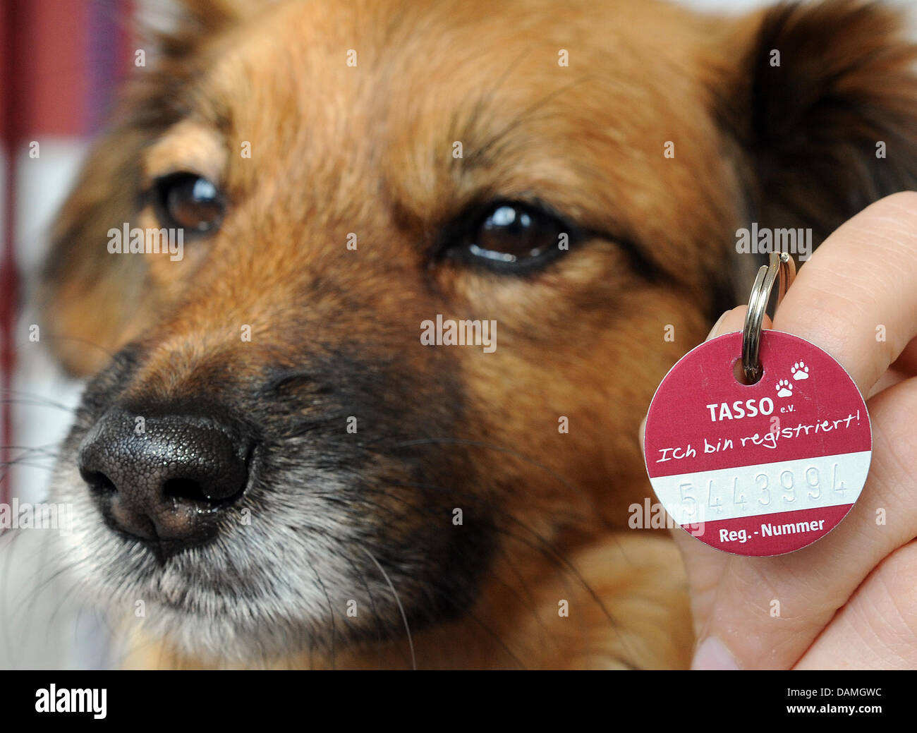 The registry number of the chip of female dog Lola is written on a dog tag at a veterinary in Langenhagen, Germany, - Stock Image
