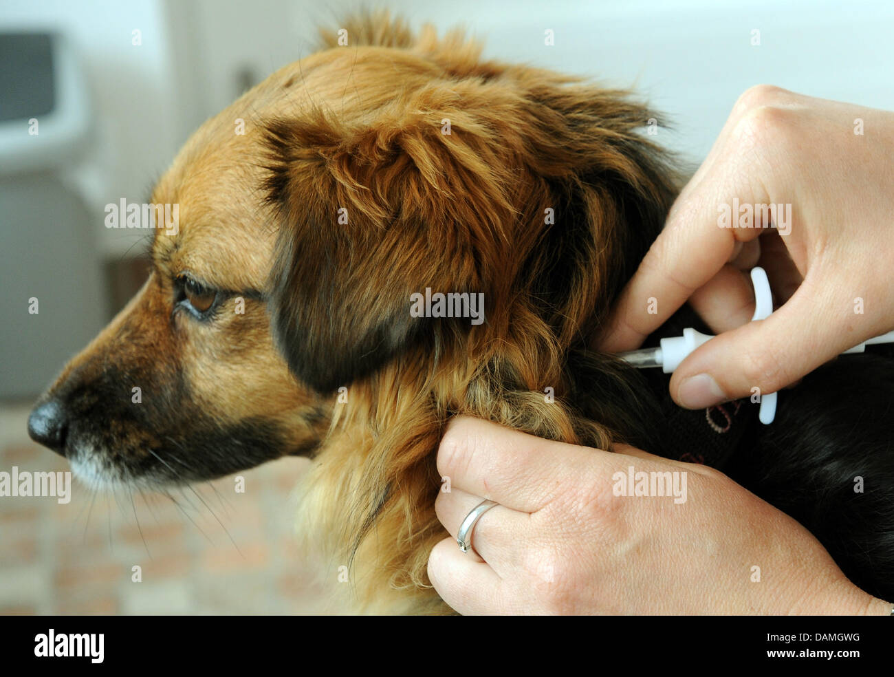 Female dog Lola has a chip implanted at a veterinary in Langenhagen, Germany, 15 June 2011. From 01 July onwards, - Stock Image