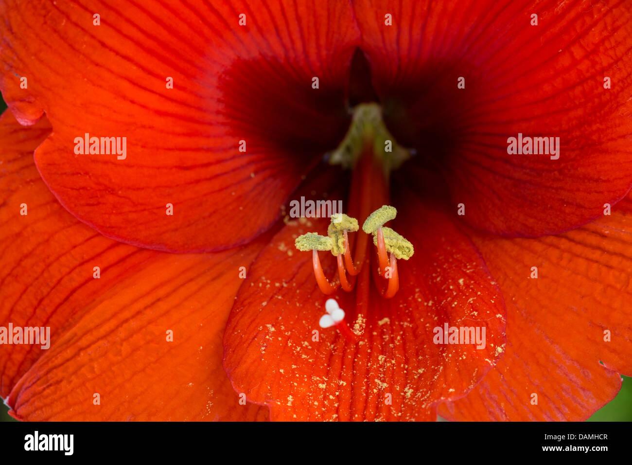 amaryllis (Hippeastrum spec.), flower detail with stamina and stigma - Stock Image