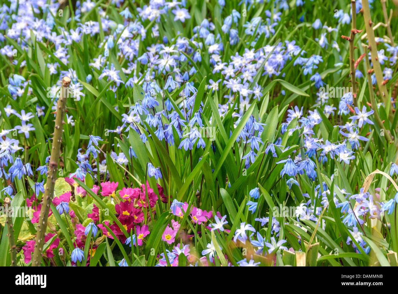 Siberian scilla, Siberian squill (Scilla siberica (falsch: Scilla sibirica)), blooming together with primroses, - Stock Image