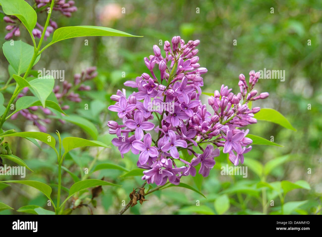 Chinese lilac (Syringa chinensis 'Saugeana', Syringa chinensis Saugeana), cultivar Saugeana - Stock Image