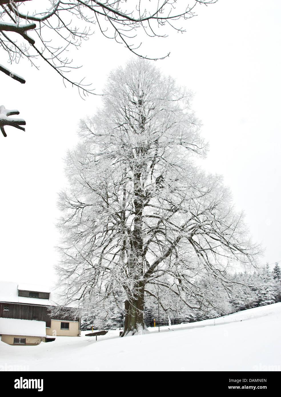 small-leaved lime, littleleaf linden, little-leaf linden (Tilia cordata), single tree in winter, Germany, Saxony - Stock Image