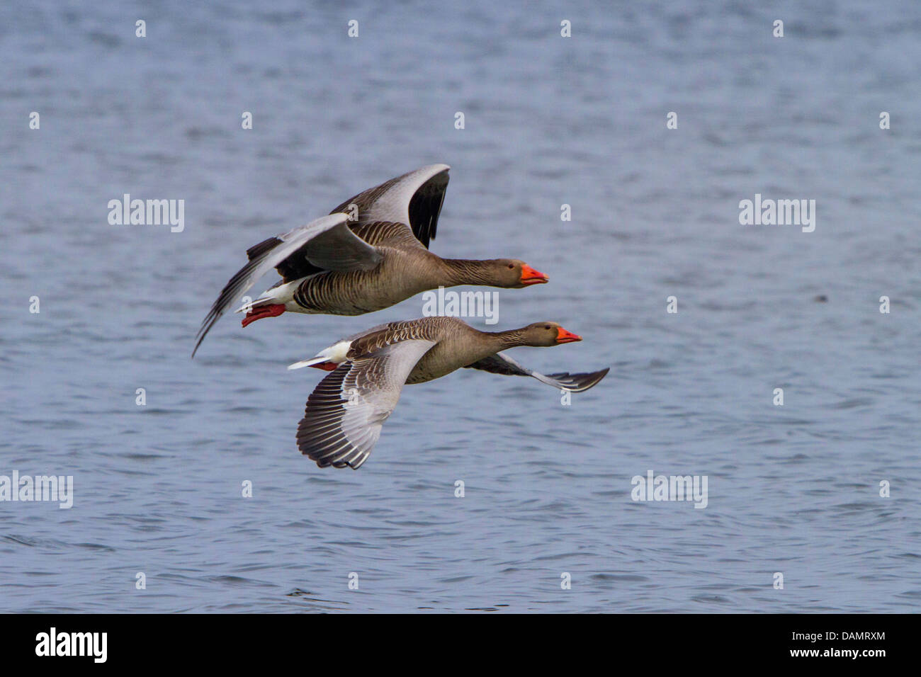 greylag goose (Anser anser), couple flying close to the water surface, Germany, Bavaria, Lake Chiemsee Stock Photo