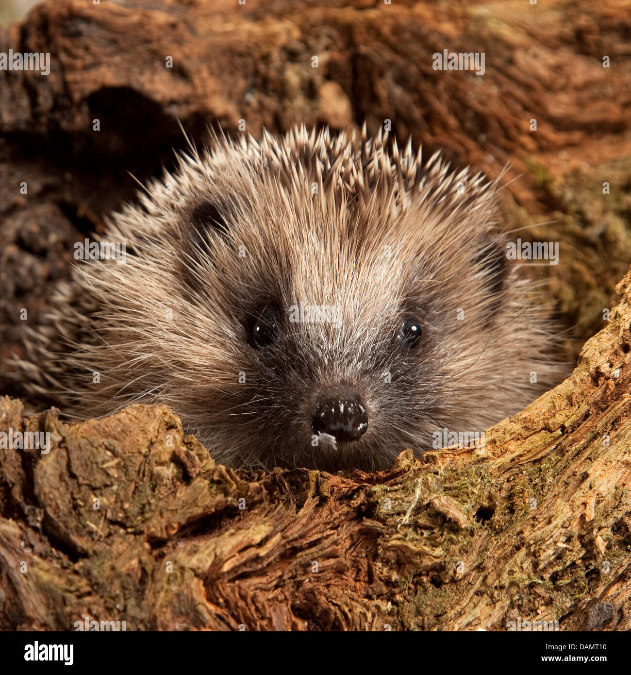 European hedgehog hiding in log - Stock Image