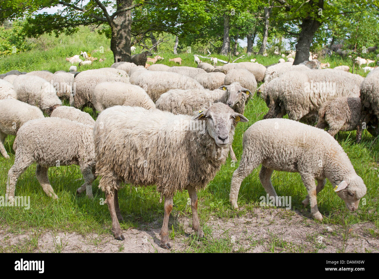 Merino sheep (Ovis ammon f. aries), flock of sheep browsing in a meadow, Germany - Stock Image