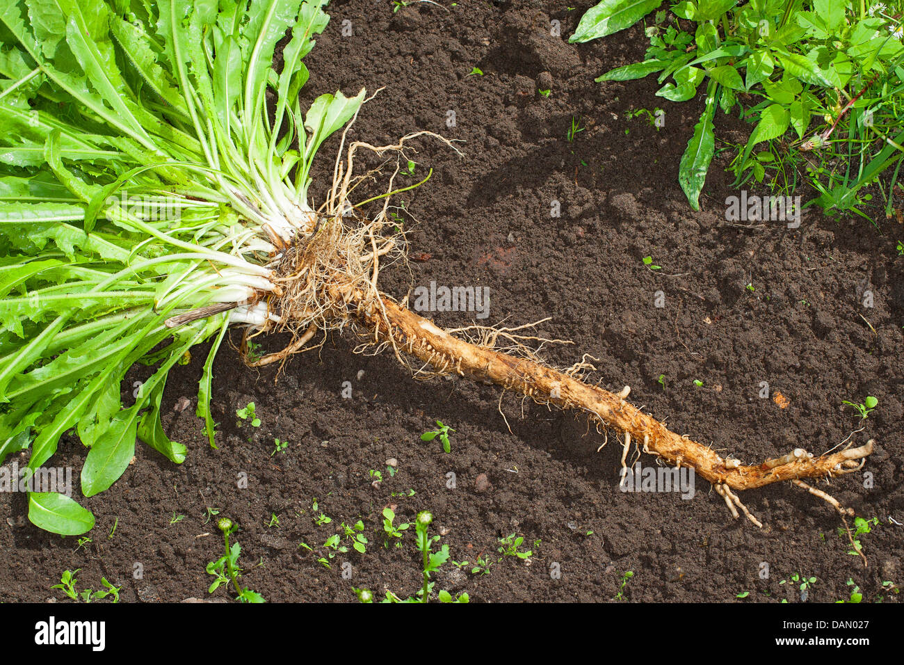 blue sailors, common chicory, wild succory (Cichorium intybus), cultivated chicory dug out, Germany - Stock Image