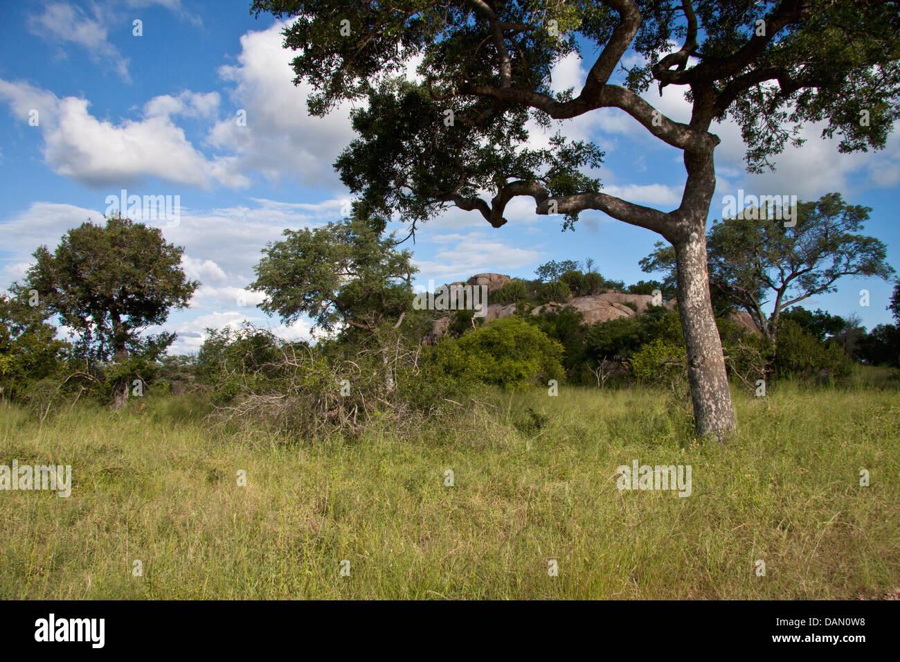 kruger national park, south africa - Stock Image