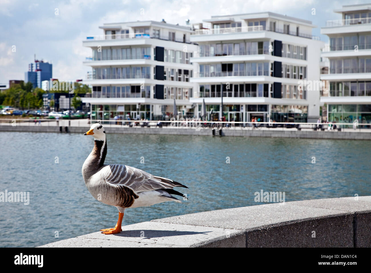 bar-headed goose (Anser indicus), standing on a wall in front of the medical centre at the Lake Phoenix, Germany, - Stock Image