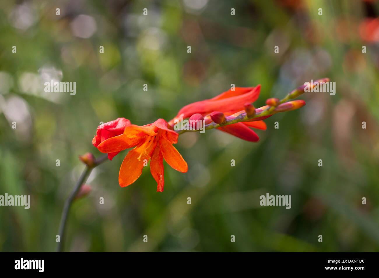 blossom at kruger national park, south africa - Stock Image