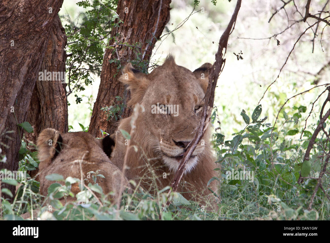 lions, panthera leo, kruger national park, south africa - Stock Image