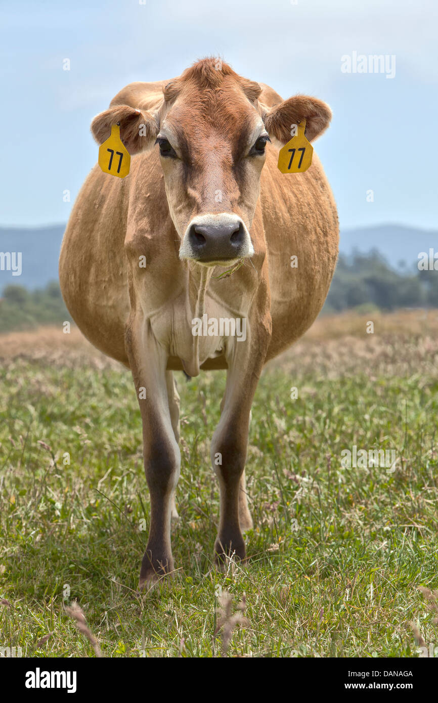 Jersey cow 'Bos taurus' dairy green pasture. - Stock Image