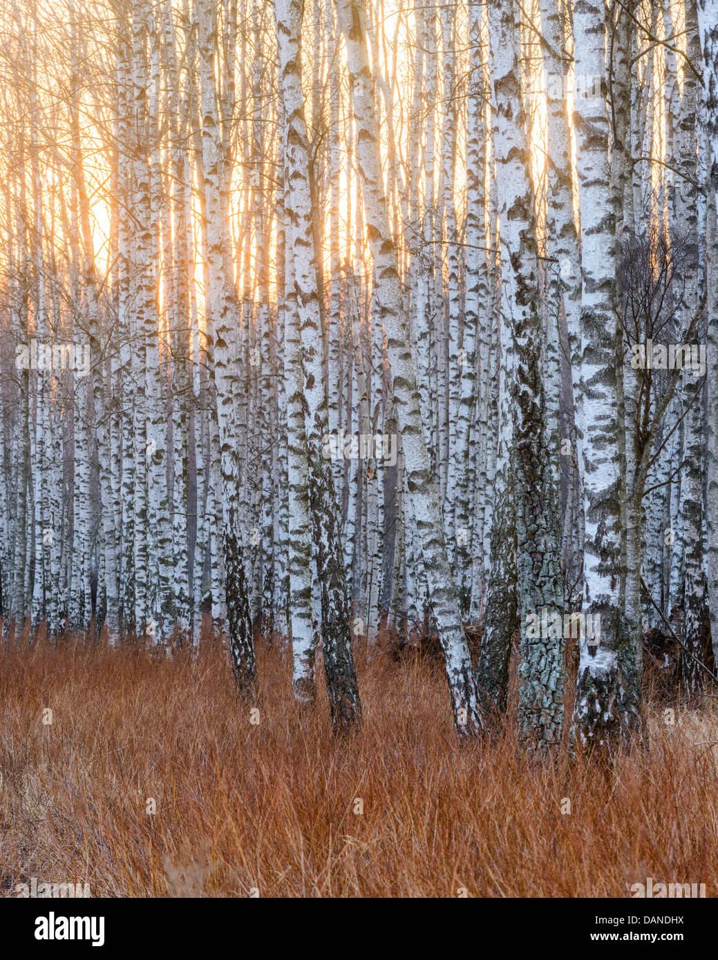 Birch trees, Gunnebo, Mölndal, Sweden - Stock Image