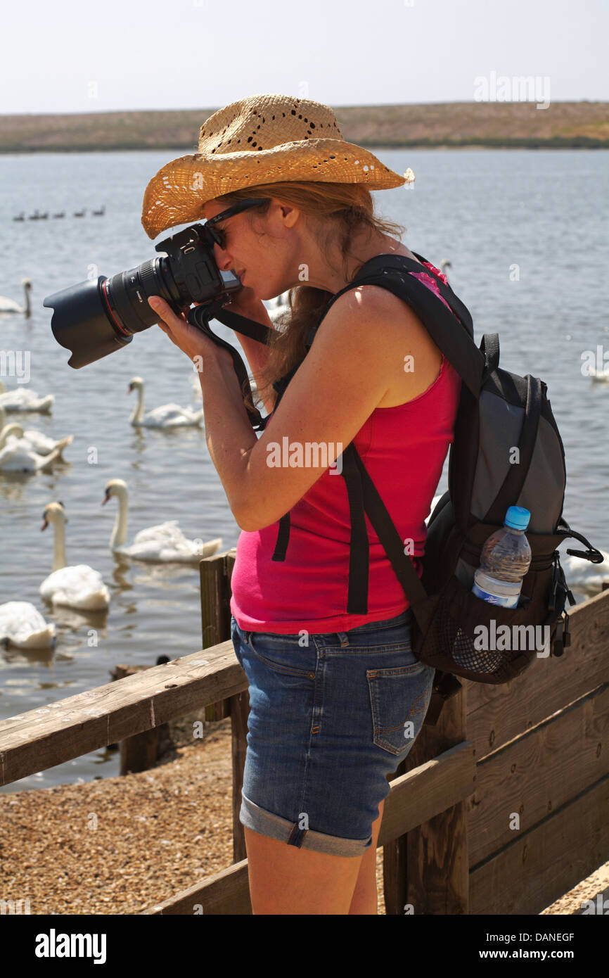 Photographer taking photos of Mute swans, Cygnus olor, at Abbotsbury Swannery, Dorset in July - Stock Image