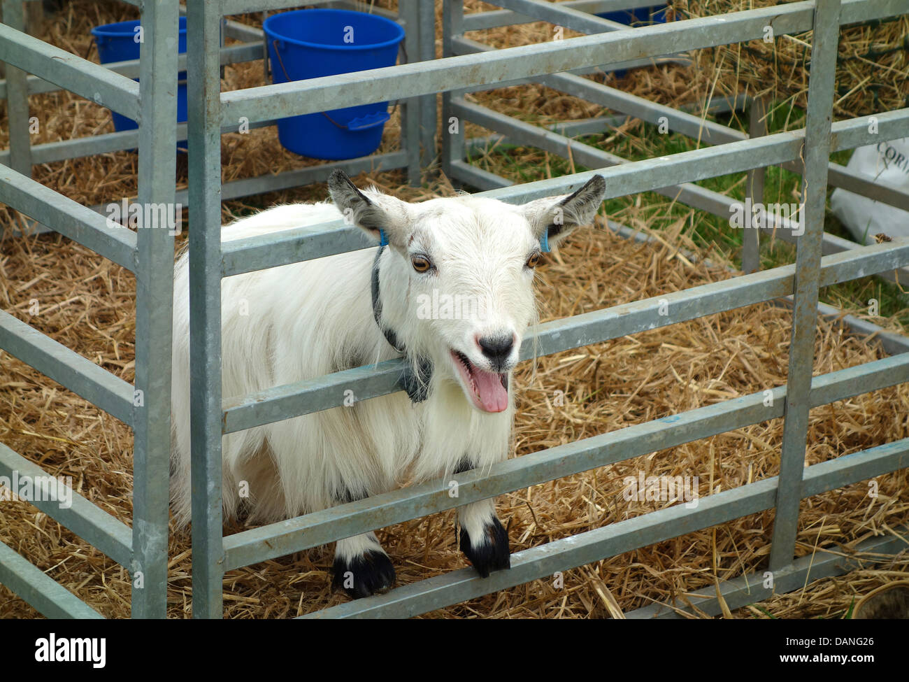 A Pygmy Goat In Pen At Country Fair