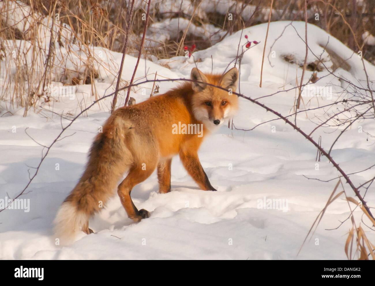 Red Fox Walking In Snow On The Boise River Greenbelt In Boise Idaho