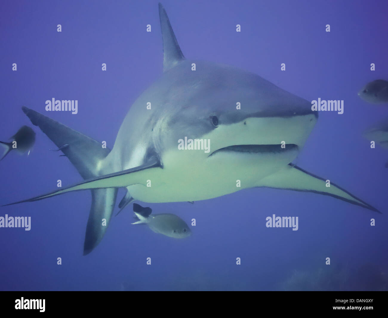 Large Back Tip Reef Shark. - Stock Image