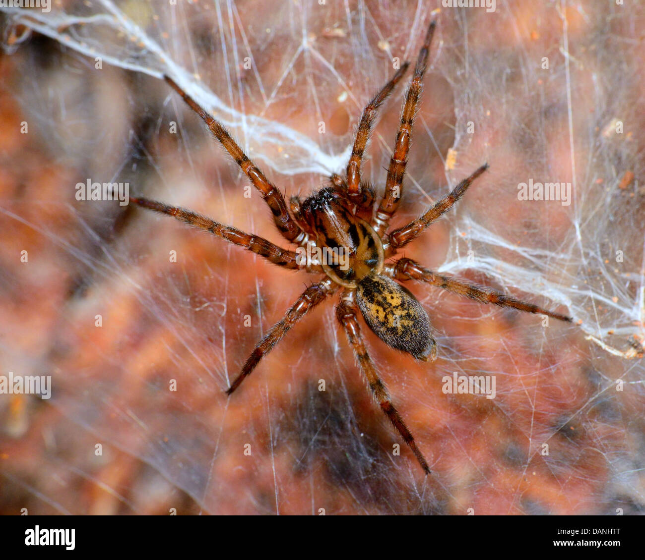A wolf spider perched on a spider web. - Stock Image