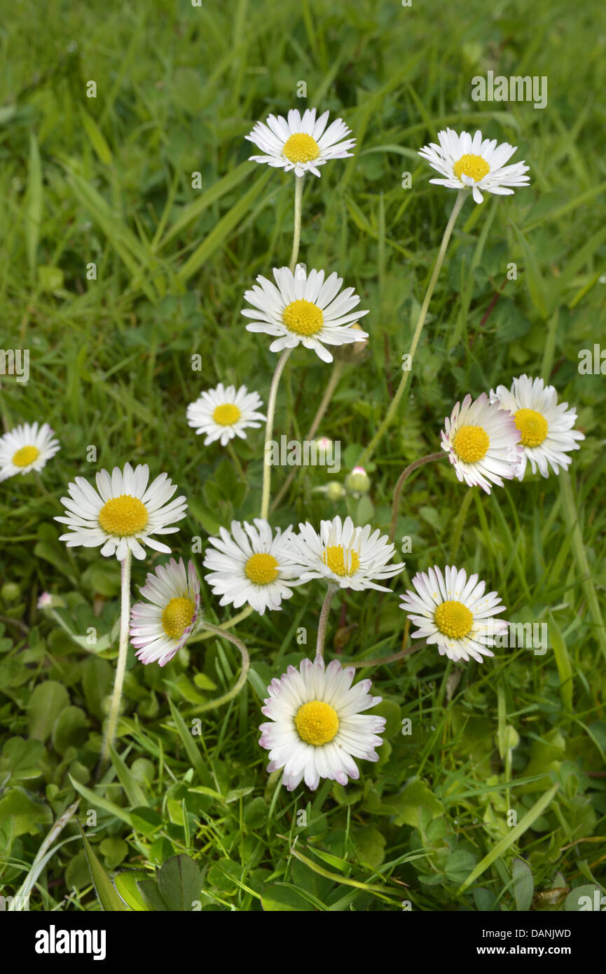 DAISY Bellis perennis (Asteraceae) - Stock Image