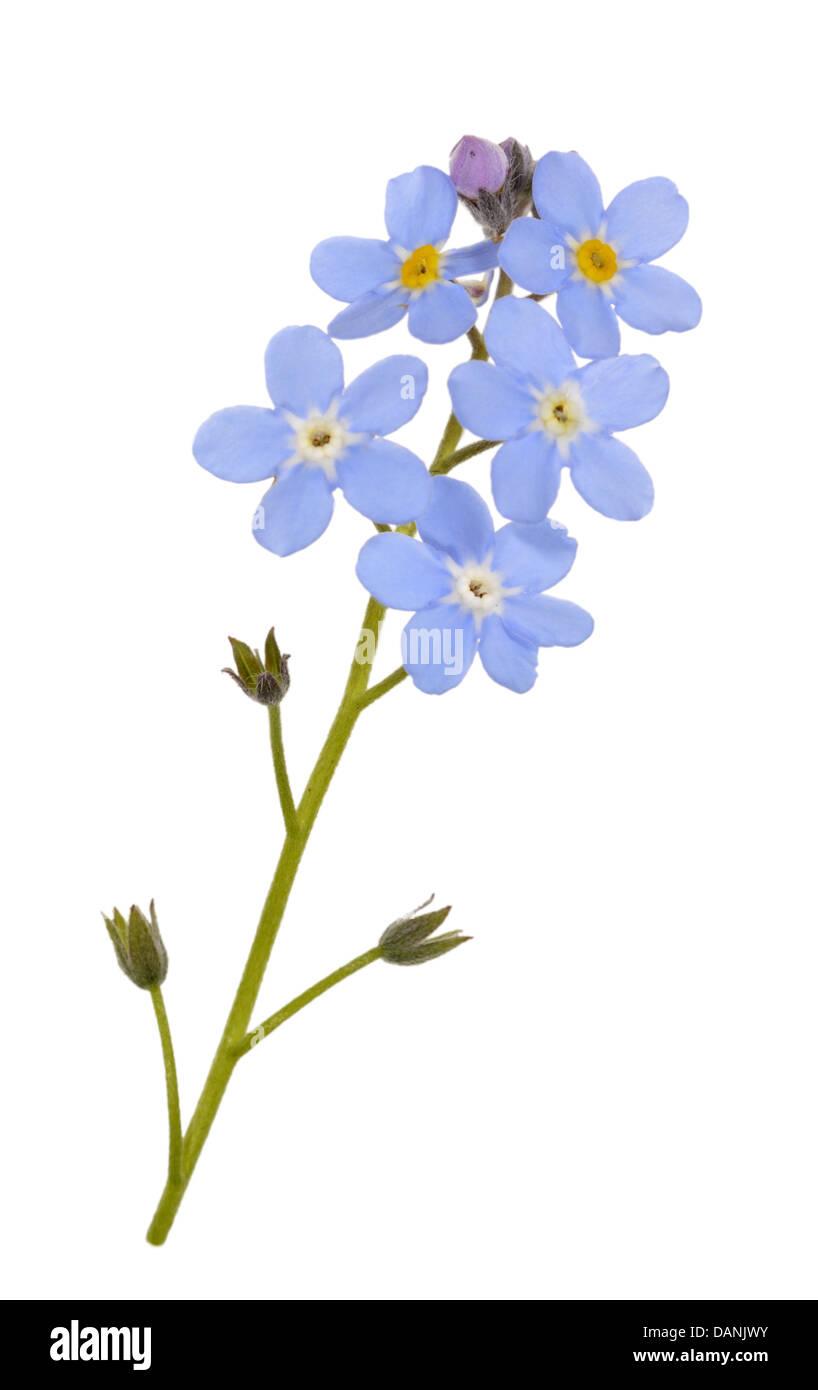 WOOD FORGET-ME-NOT Myosotis sylvatica (Boraginaceae) Stock Photo