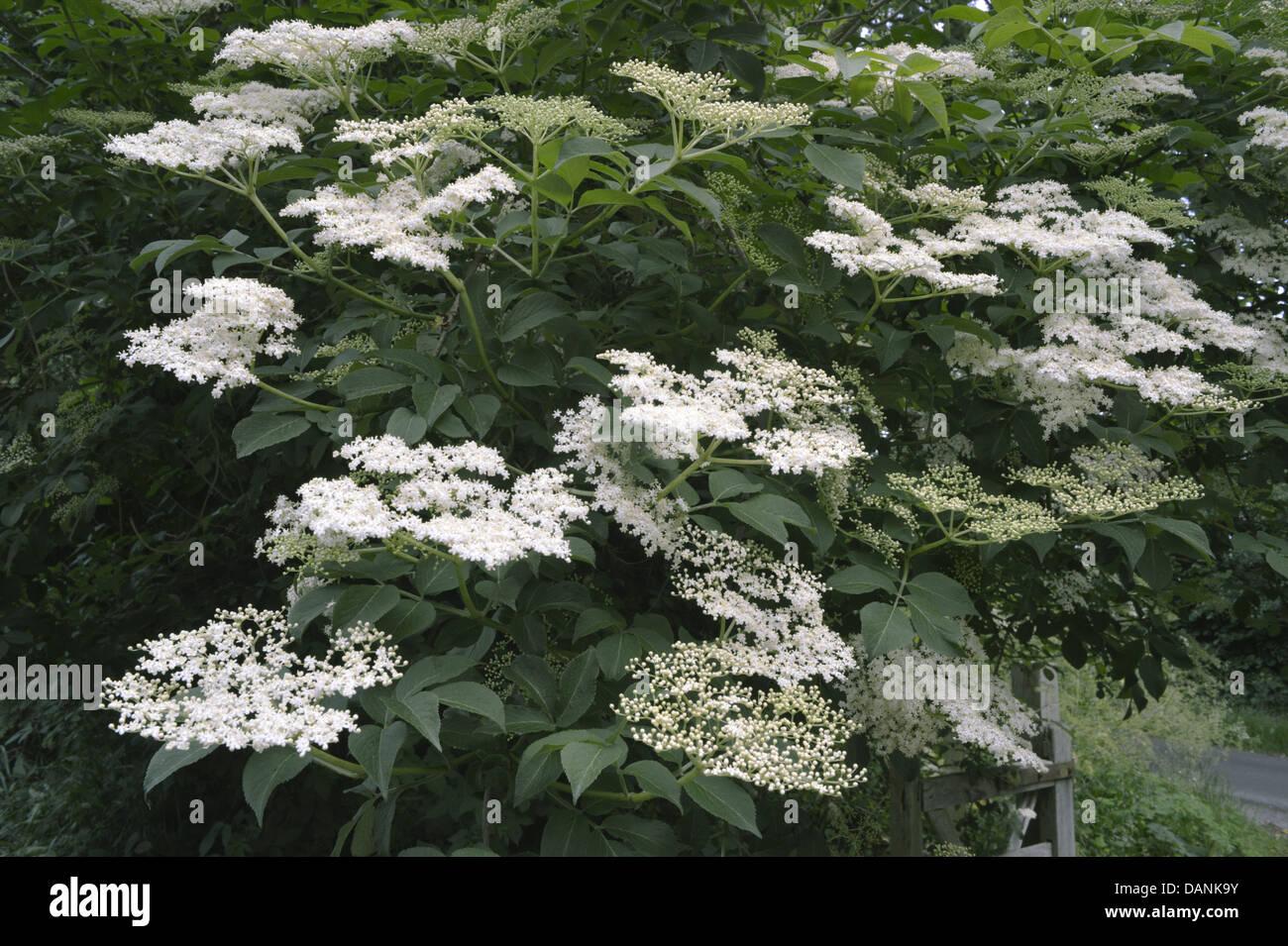 Elder Sambucus nigra Caprifoliaceae - Stock Image