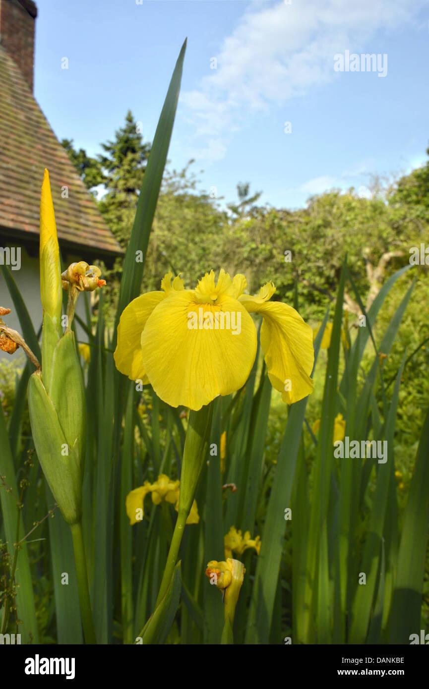 YELLOW IRIS Iris pseudacorus (Iridaceae) - Stock Image