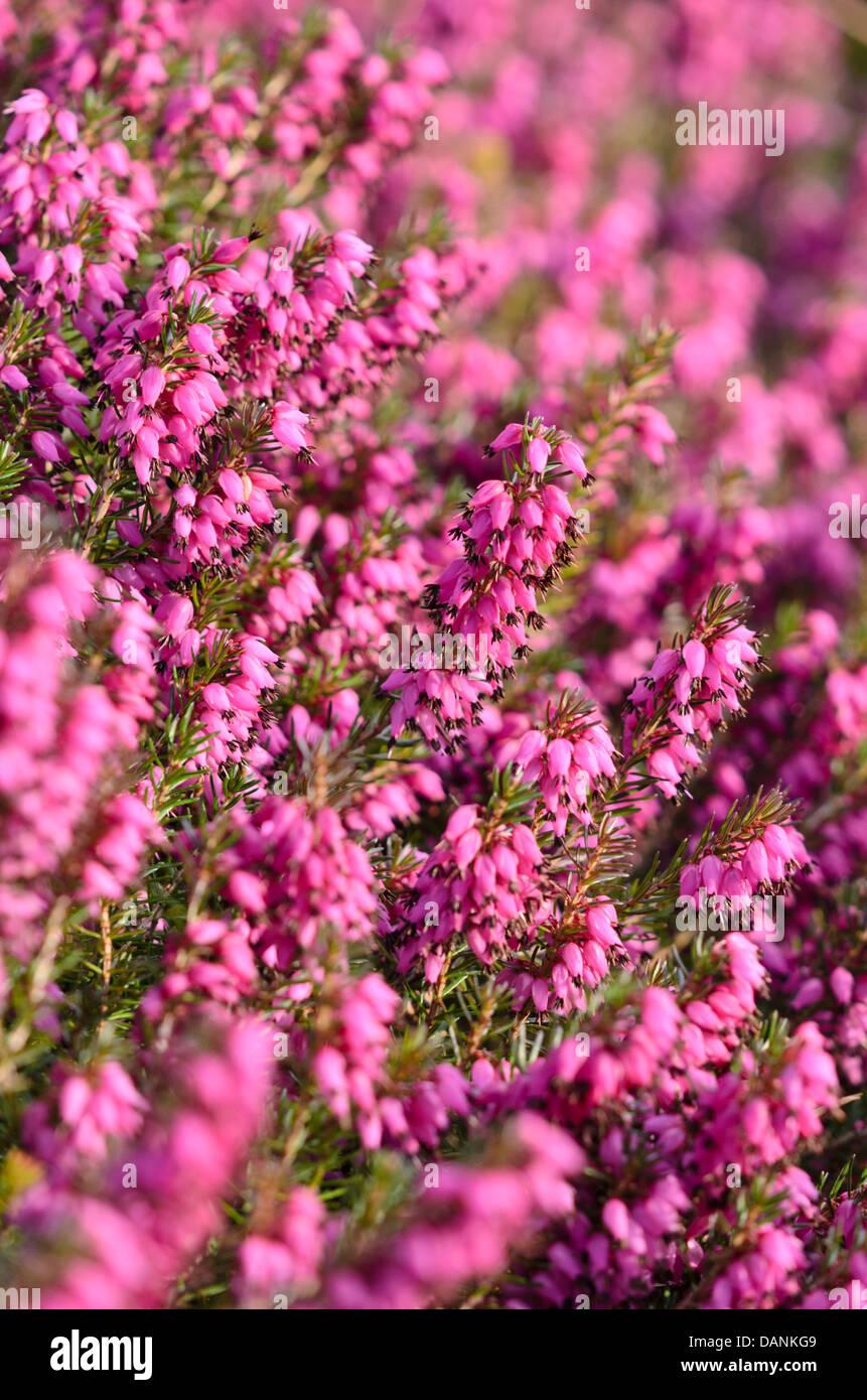 Winter heather (Erica carnea 'Myretoun Ruby' syn. Erica herbacea 'Myretoun Ruby') - Stock Image