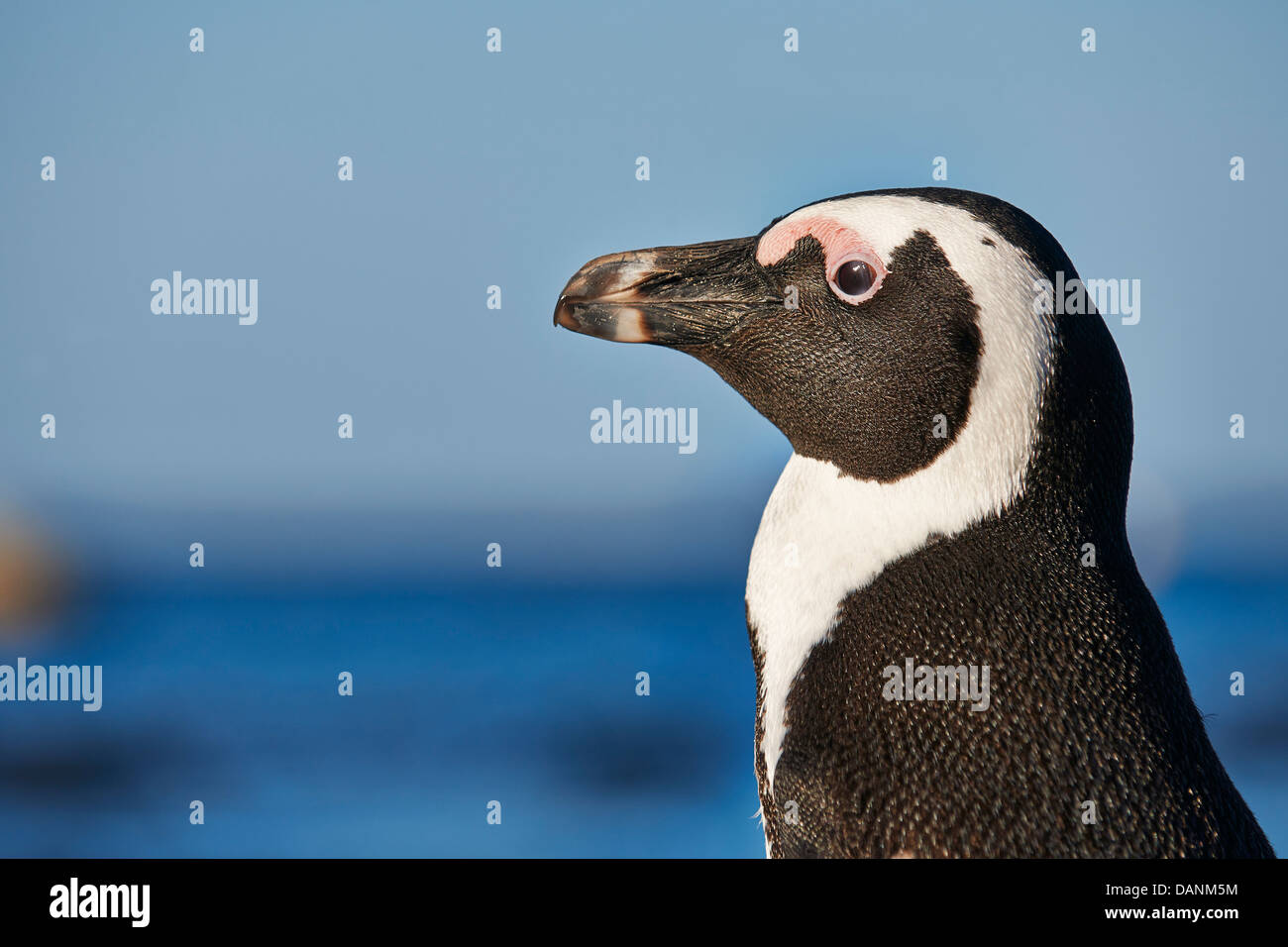 close up portraet of African Penguin, Spheniscus demersus, Boulders Beach, Simon's Town, Cape Town, Western - Stock Image