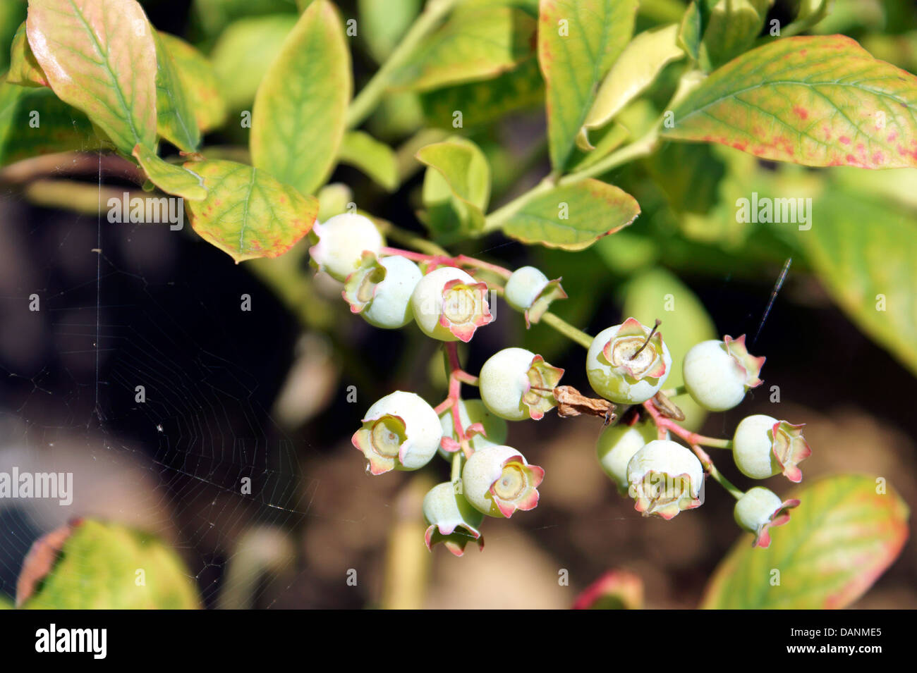 BLUEBERRIES UNRIPE - Stock Image