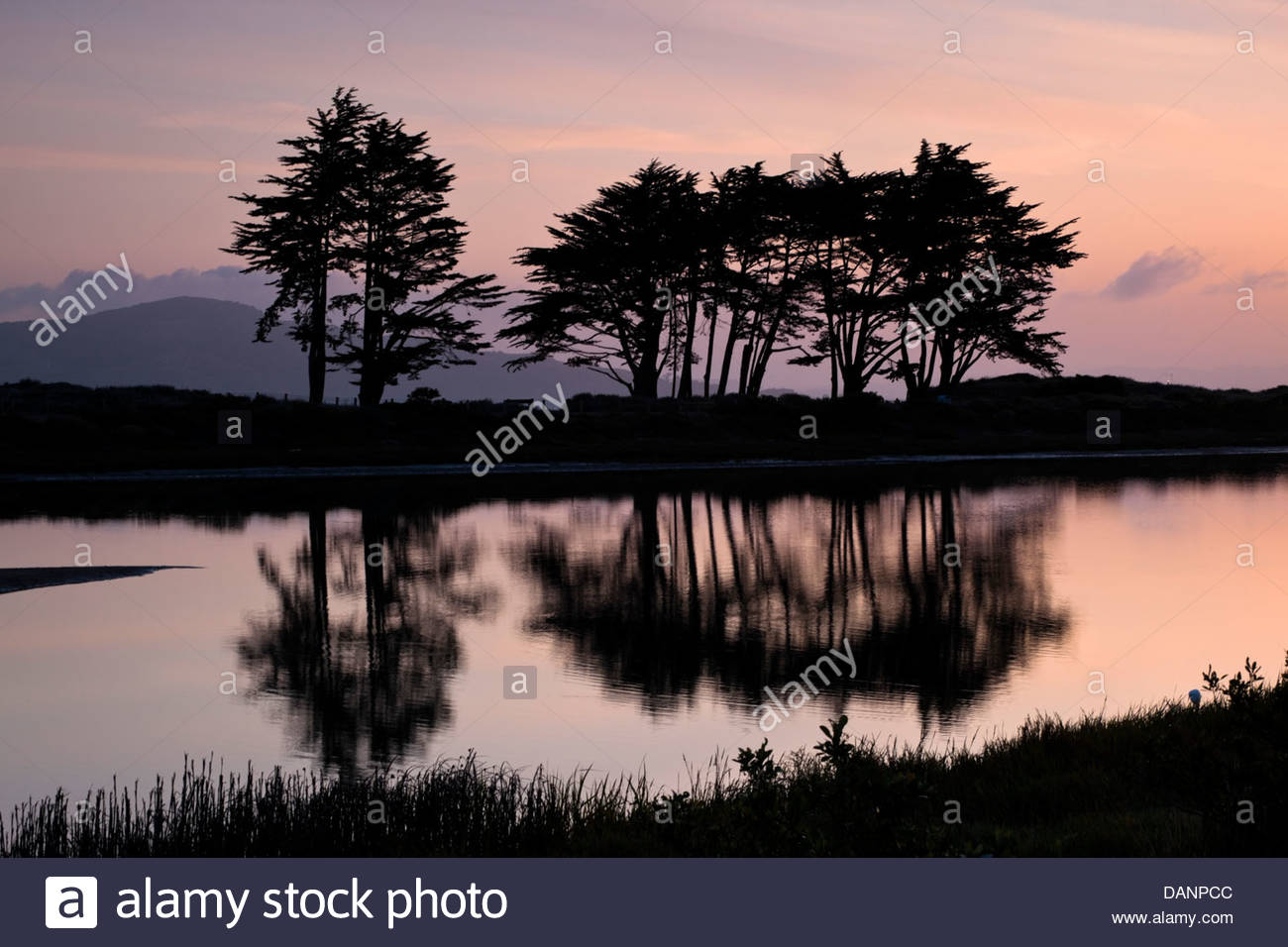 Monterey Cypress Trees Silhouetted in Pre-Dawn Light at Crissy Field Marsh, San Francisco, California - Stock Image