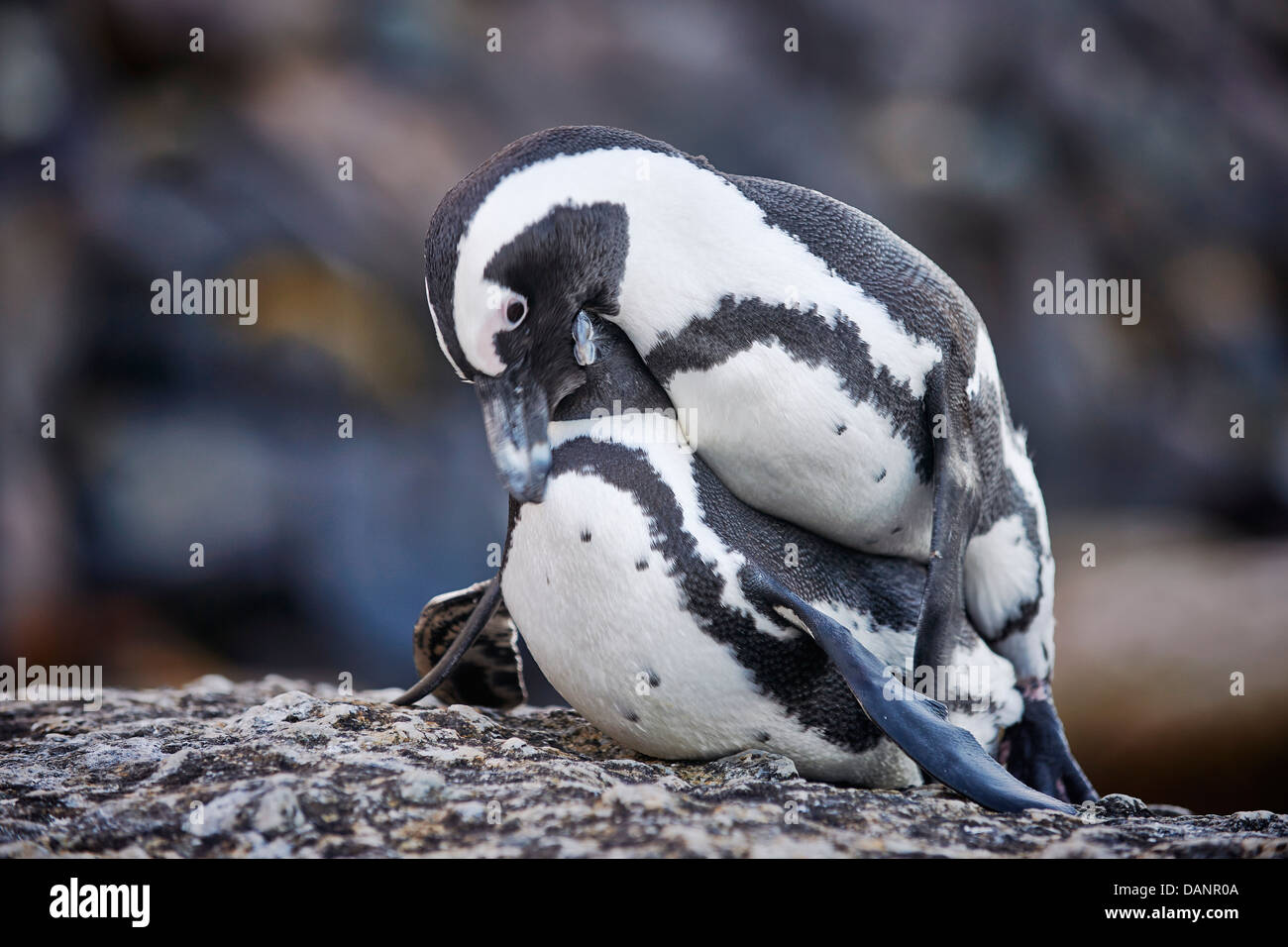 couple of African Penguin mating, Spheniscus demersus, Boulders Beach, Simon's Town, Cape Town, Western Cape, - Stock Image