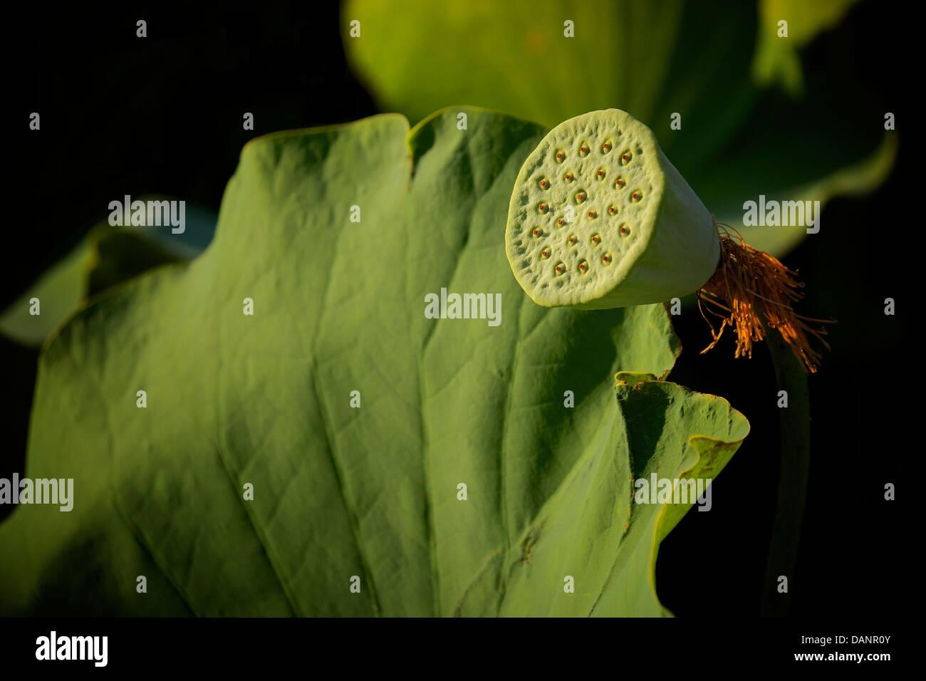 Lotus Flower Seed Pod Senshu Park Akita Japan During Summer Stock