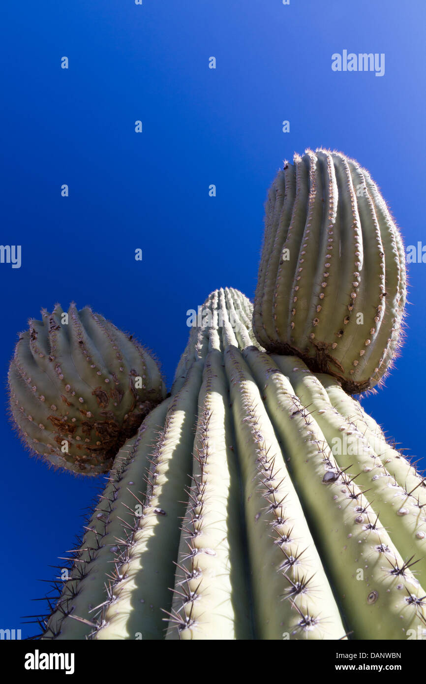 Saguaro bottom to top - Stock Image