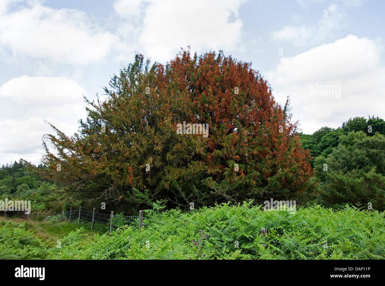 16 July 2013 Moor House National Nature Reserve in Upper Teesdale County Durham UK.  Juniper Tree Juniperus communis - Stock Image