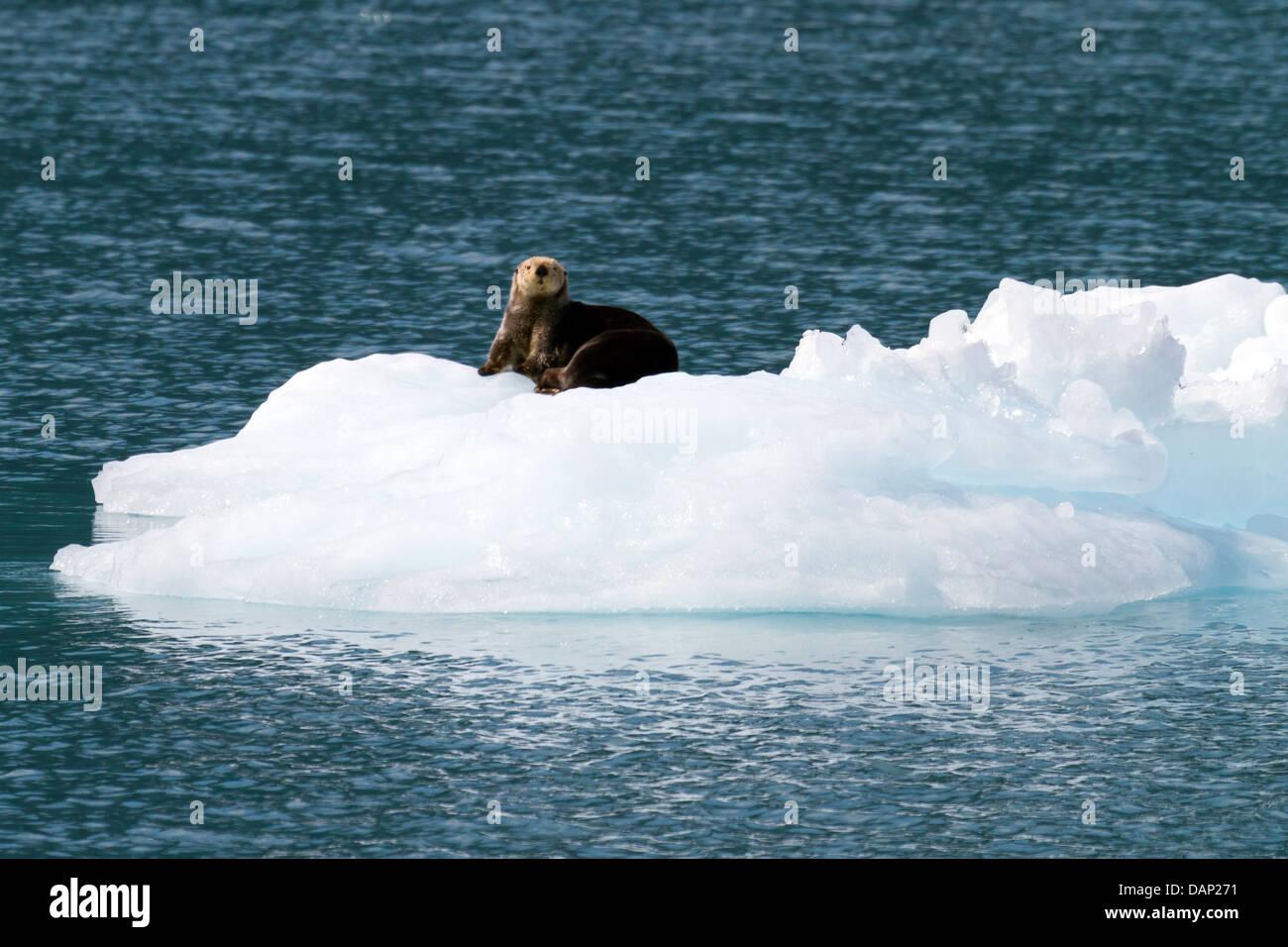 sea otter on ice berg - Stock Image