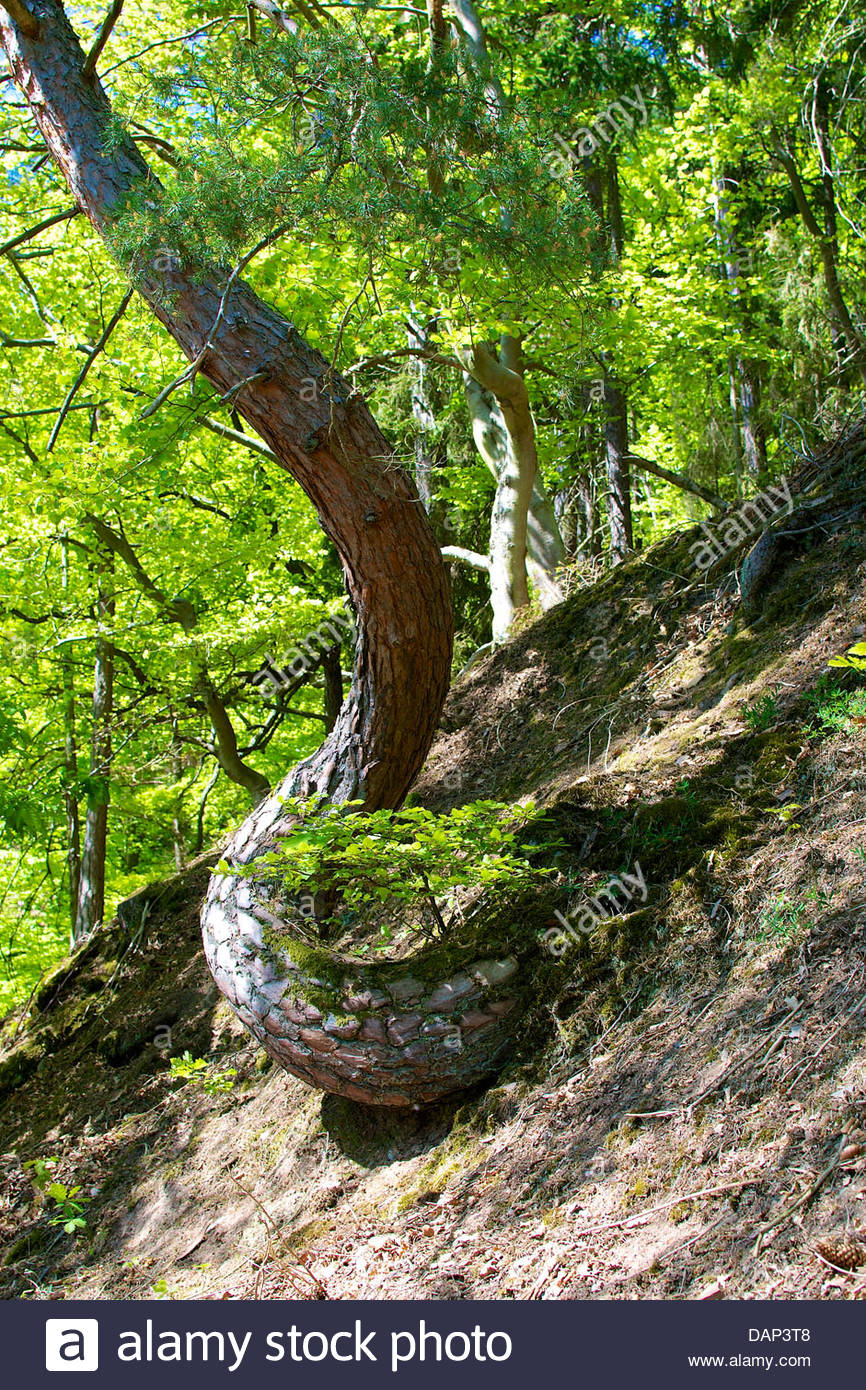 Germany, Hesse, Crippled pine tree in Kellerwald National Park - Stock Image
